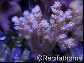 Litophyton arboreum S