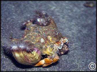 Dardanus pedunculatus
