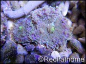 Ricordea yuma violet-vert