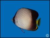 Chaetodon decussatus