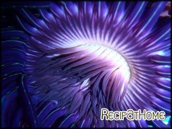 Cerianthus filiformis violet