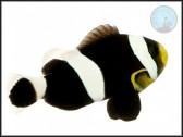 Amphiprion darwini
