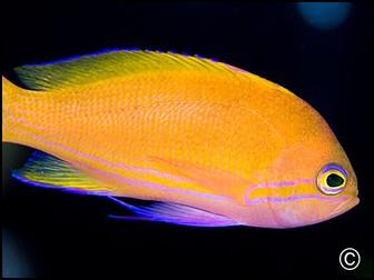 Pseudanthias pleurotaenia femelle