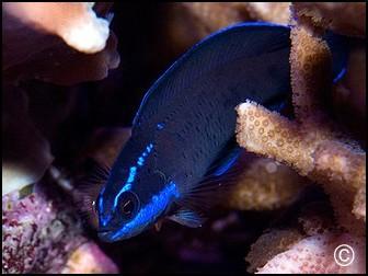 Pseudochromis springeri Elevage
