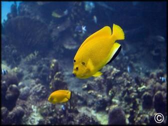 Apolemichthys trimaculatus juv vpc recifathome for Poisson vpc