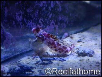 Gobiodon quenquestriatus