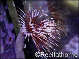 WYSIWYG Sabellastarte choco featherworm L