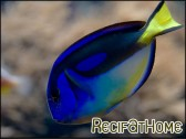 Paracanthurus hepatus ventre Jaune