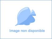 Gorgone Ellisella rouge polypes blanc