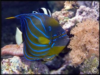 Poissons eau de mer en ligne vpc recifathome for Poisson aquarium vente en ligne